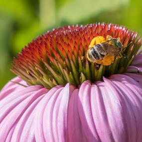 by Joan Sharp - Flowers Single Flower ( coneflower, dark pink, pink )