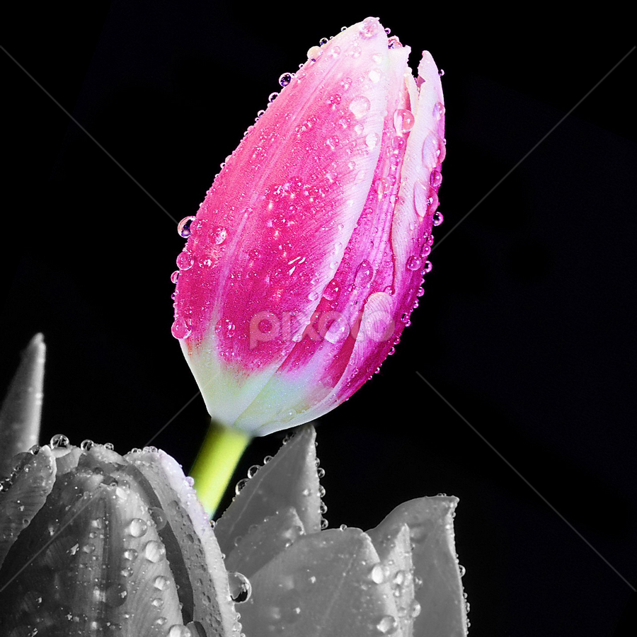 Tulip by Ad Spruijt - Nature Up Close Flowers - 2011-2013