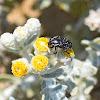 Oxythyrea Chafer Beetle