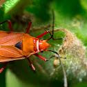 Cotton bug