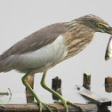 Pond Heron fishing (video)