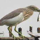 Pond Heron fishing (video)