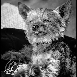 Dolly by Dave Lipchen - Black & White Animals ( dog )