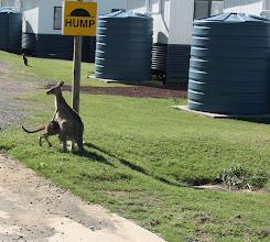 Photo: Year 2 Day 168 -  Kangaroos at Potato Point Caravan Park #5