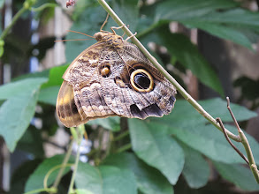 "Photo: The Owl butterfly's two ""eyes"" mimic an owl to fool predators."