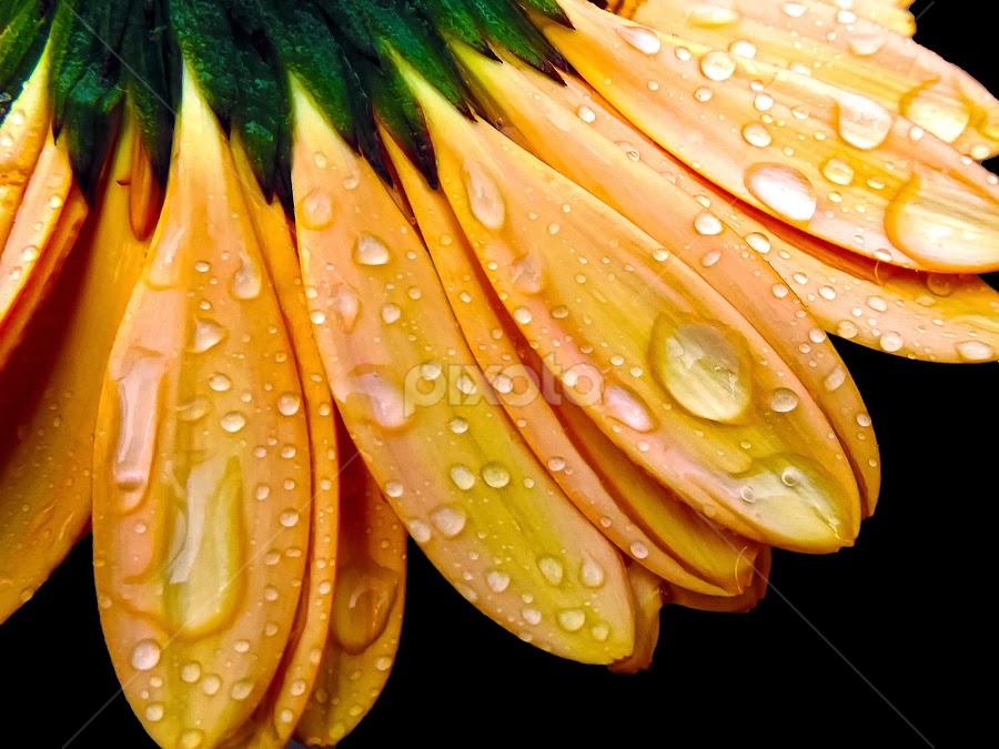beautiful gerber by LADOCKi Elvira - Flowers Single Flower ( nature, color, flowers, garden,  )