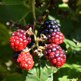 Berries by Becky Luschei - Nature Up Close Trees & Bushes ( orange red, red, crimson, colors, describe, bush, jewels, dark purple, berries )