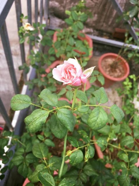 Nụ hoa hồng Nahéma rose. Nguồn ảnh