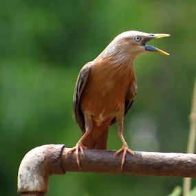 by Nisha B. - Animals Birds ( starling, tripura, india, birds, birds of india )