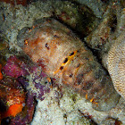 Spanish Slipper Lobster