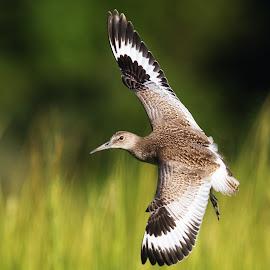Willet by Carl Albro - Animals Birds ( bird, flying, willet, sandpipers )