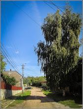 Photo: Mesteacăn (Betula) - de pe Str. Dorobantilor - 2017.09.08