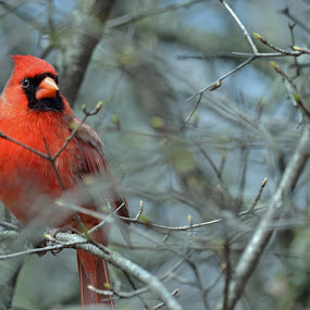 Cardinal by Jaliya Rasaputra - Animals Birds (  )