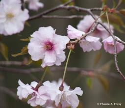 Photo: Japanese cherry