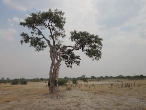 Photo: Savannah and a cool tree