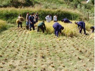 Photo: Crop-cutting by trainees at an SRI field trial conducted by Bhutan's College of Natural Resources during the 2008 growing season.  [Photo courtesy of Kharma Lhendup, Bhutan, 2008]