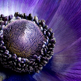 Am I perfect? by Johannes Oehl - Flowers Single Flower ( plant, extreme, purple, flowering, blooming, flora, beautiful, bloom, pretty, close up, blossom, close-up, macro, pollen, color, focus stacking, anemone, detailed, lovely, stamen, flower, floral,  )