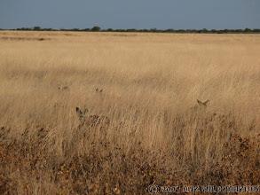 Photo: Lišky v úkrytu / Fox in the ambush