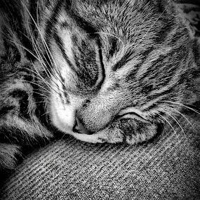 Kitkat by Melanie Pond - Black & White Animals ( sleeping cat, kitten, couch, tabby cat, bnw, tabby,  )