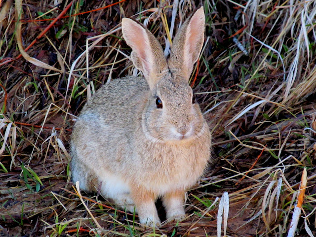 Cottontail at French Spring