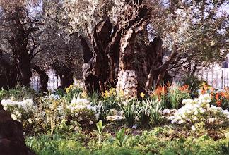 Photo: 1989 - Getsemanen puutarhan ikivanhoja puita