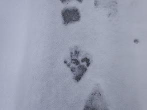 雪に猿の足跡
