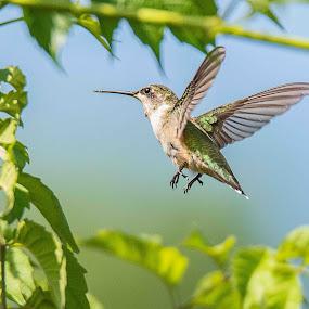 Hummingbird by Jay Stout - Animals Birds (  )