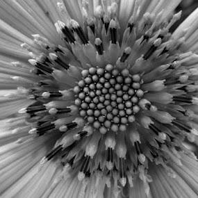 Blom by Nico Ebersohn - Flowers Flower Buds ( white, seeds, black, petals, flower,  )
