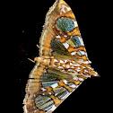 Mulberry Leaftier Moth  Glyphodes sibillalis