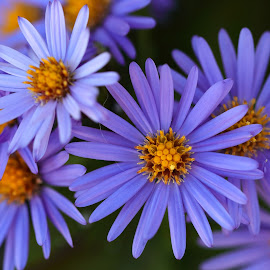 Purple by Sergey Sokolov - Flowers Flowers in the Wild ( floral leaf, ovary, blossom, bloom, dahlia, crocus, flowering, daisy, efflorescence, orchid, calendula, flower )