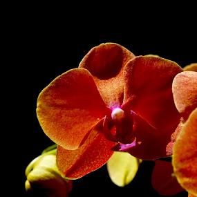 Velvet  by Jane Sherwin - Flowers Single Flower
