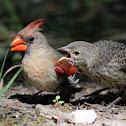 Northern Cardinal (Adult Female Feeding Cowbird Fledglings)