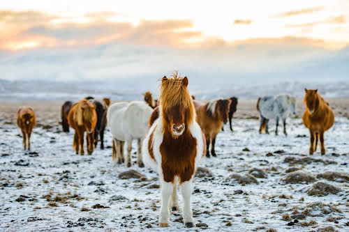 Iceland Winter Activities // Icelandic Horses - Photo by Charl van Rooy on Unsplash