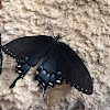 Eastern Tiger Swallowtail (Dark Phase)