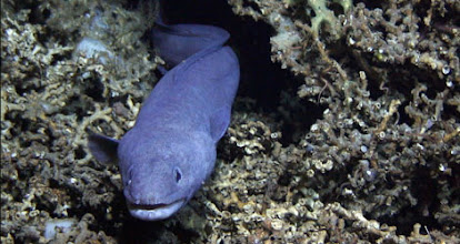 Photo: Conger eel in a Lophelia reef (Photo credit: CIOERT Research Team)