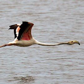 Flamingo by Johann Fouche - Animals Birds ( flight, bird in flight, bird photography, bird, flamingo )