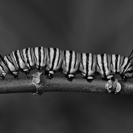 Monarch Caterpiller by Anthony Goldman - Black & White Animals ( delray beach, caterpiller monarcg butterfly, insect, b & w, wildlife )