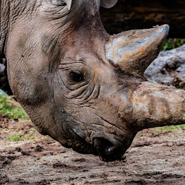 Endangered Black Rhinoceros  by Bert Templeton - Animals Other Mammals ( africa, rhino, white, rhinoceros, black, poaching, horns,  )