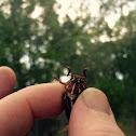 Five lined june bug