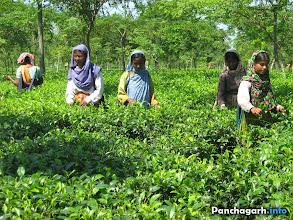 Photo: Tea garden workers of KKTea in Panchagarh