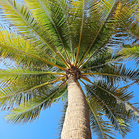 Palm Tree in Costa Rica by Kristin Cheatwood - Nature Up Close Trees & Bushes ( palm tree, green, costa rica )