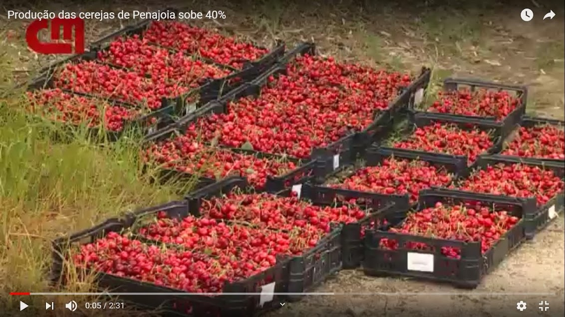 Vídeo - Produção das cerejas de Penajóia sobe 40%