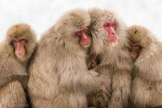 Photo: Five Snow Monkeys (Japanese Macaque) in a huddle.