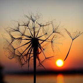 Dandelion by Svetlana Micic - Nature Up Close Other plants ( nature, dandelion, sunset, nature up close, sun )
