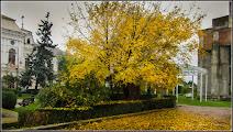 Photo: Fraxinus excelsior 'Aurea' - din Piata 1 Decembrie 1918, parc - 2015.10.13  album http://ana-maria-catalina.blogspot.com/2016/06/frasinul-fraxinus.html