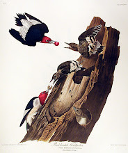 Photo: John James Audubon drawing of Red-headed Woodpecker