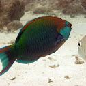 Blue-faced Parrotfish
