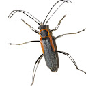 Mountain Soldier Beetle