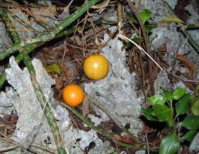 Photo: Cionosicyos pomiformis - Duppy Pumpkin, Wild Pumpkin, CUCURBITACEAE. Ironwood Forest, Grand Cayman, July 13, 2003 Range: Grand Cayman and Jamaica only Photo: P. Ann van B. Stafford. Flora of the Cayman Islands by George R. Proctor, 2012, p.330 Pl.22. Flowering Plants of Jamaica by C. D. Adams 1972, p.503.