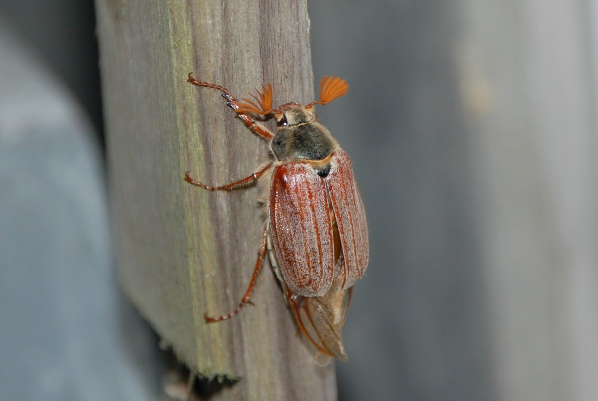 May bug (Male)